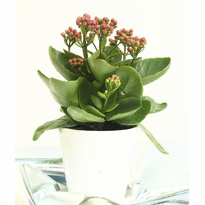 园艺植物 长寿花